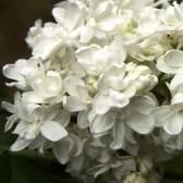 Flieder Syringa vulgaris 'Jeanne d'Arc'
