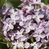 Syringa vulgaris 'Lavaliensis'
