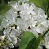 Syringa vulgaris 'Königin Luise'