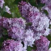 Flieder Syringa vulgaris 'Mechta'