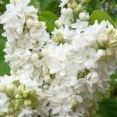 Flieder Syringa vulgaris 'Mme Lemoine'