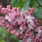 Flieder Syringa vulgaris 'Mulatka'
