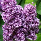 Flieder Syringa vulgaris 'Pavlinka'