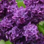 Syringa vulgaris 'Anne Shiach'