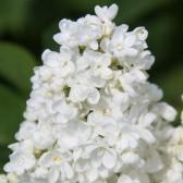 Syringa vulgaris 'Saint Margaret'