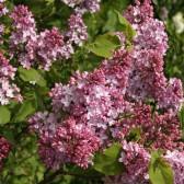 Flieder Syringa hyacinthiflora 'Esther Staley'