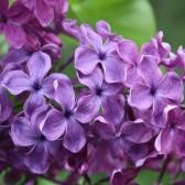 Flieder Syringa vulgaris 'Sumerki'