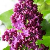 Flieder Syringa vulgaris 'Svitjazanka'