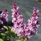 Flieder Syringa vulgaris 'Violetta'