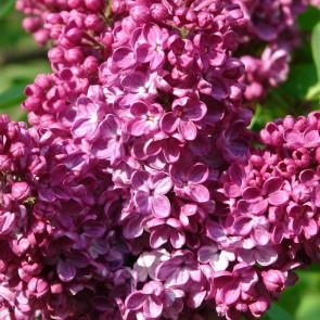 Syringa vulgaris 'Alesha'