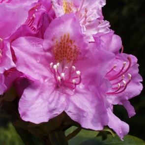 Rhododendron hybride ΄Allah΄