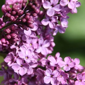 Flieder Syringa vulgaris 'Amethist 2'