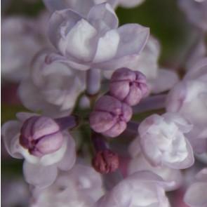 Flieder Syringa hyacinthiflora 'Anabel'
