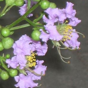 Lagerstroemia hybride 'Appalachee'