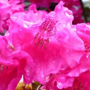 Rhododendron hybride  'August Lamken'