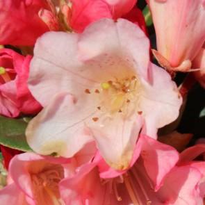 Rhododendron yakushimanum 'Aureolin'