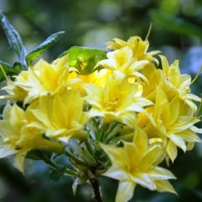 Azalea 'Narcissiflora'