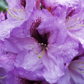 Rhododendron hybride  'A.Bedford'