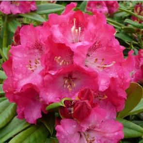 Rhododendron hybride 'Berliner Liebe'