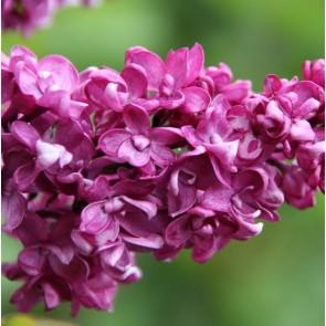 Flieder Syringa vulgaris 'Charles Joly'