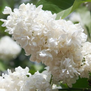 Syringa vulgaris 'Mme Abel Chatenay'