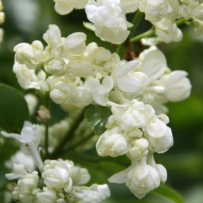 Syringa vulgaris 'Princesse Clémentine'