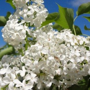 Flieder Syringa vulgaris 'Comtesse d'Harcourt'