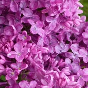 Flieder Syringa vulgaris  'Congo'