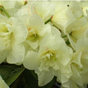 Rhododendron hybride 'Creamy Chiffon'