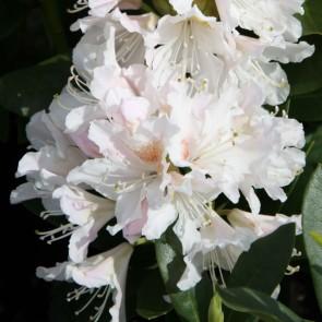 Heckenware Rhododendron hybride ΄Cunningham's White΄