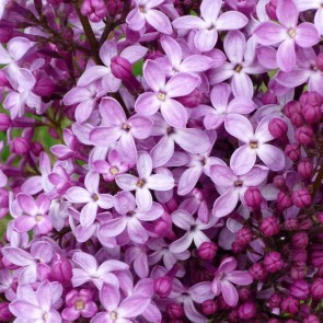 Syringa hyacinthiflora 'Dark Night'