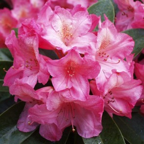 Rhododendron hybride 'Diana'