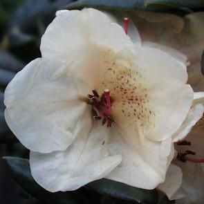 Rhododendron hybride 'Diandi'