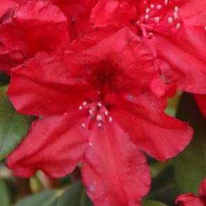 Rhododendron hybride 'Erato'®