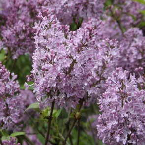 Flieder Syringa hyacinthiflora 'Excel'