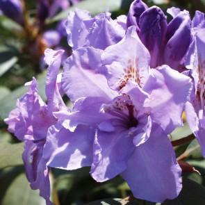 Rhododendron hybride ΄Fastuosum Flore Pleno΄