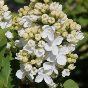 Flieder Syringa vulgaris 'Flora 1953'