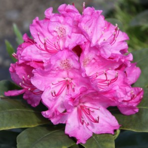 Rhododendron hybride 'Florence Sarah Smith'