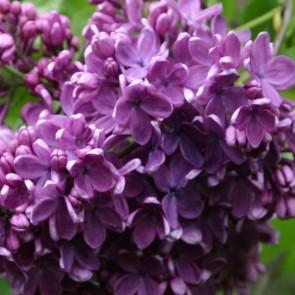 Flieder Syringa vulgaris  'Gilbert'