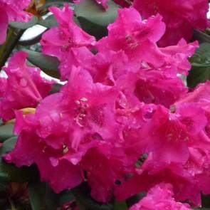 Rhododendron hybride 'Gartendirektor Glocker'