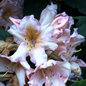 Rhododendron hybride ΄Gloria΄