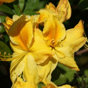 Azalea ΄Golden Sunset΄
