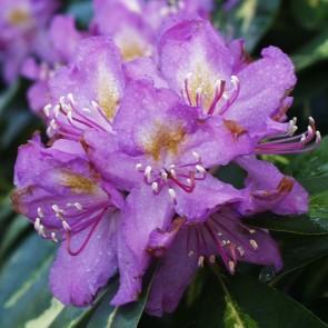 Rhododendron hybride 'Goldflimmer'