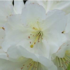 Rhododendron hybride 'Goldfort'