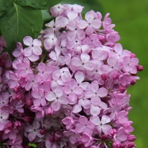 Flieder Syringa vulgaris 'Gortenziya'