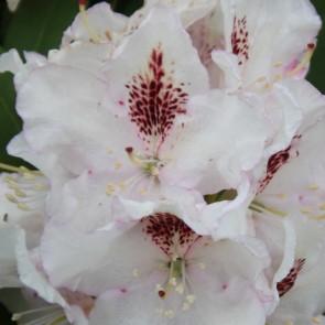 Rhododendron hybride 'Gudrun'