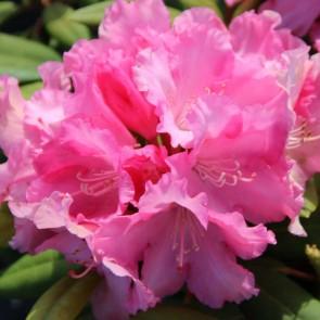 Rhododendron yakushimanum 'Gunborg'