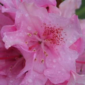 Rhododendron hybride 'Helsinki University'