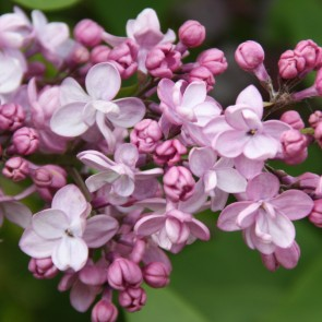 Flieder Syringa vulgaris 'Henri Martin'