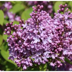 Syringa vulgaris 'Louis van Houtte'